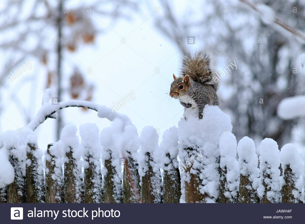Eastern grey squirrel, Sciurus carolinensis, in snow on a wood fence. - Stock Image