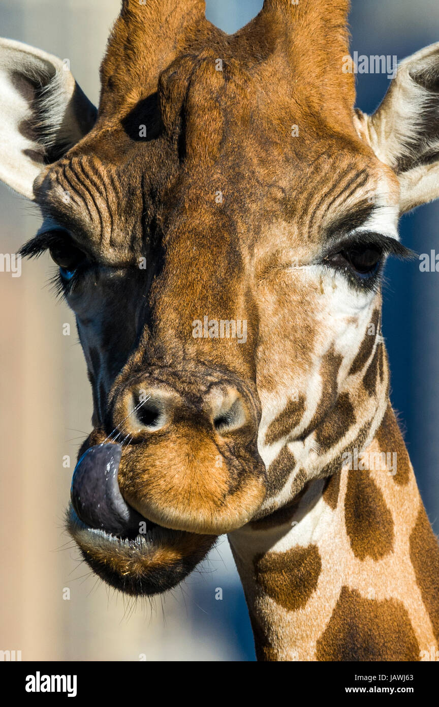 A Giraffe using its long tongue to lick and clean its nostril. - Stock Image