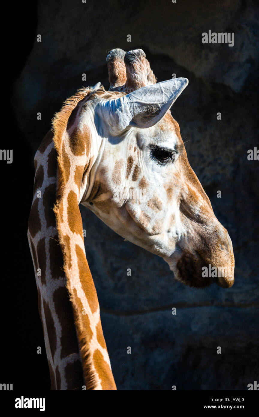 A Giraffe turning its head on its long neck to listen with its ears alert. Stock Photo