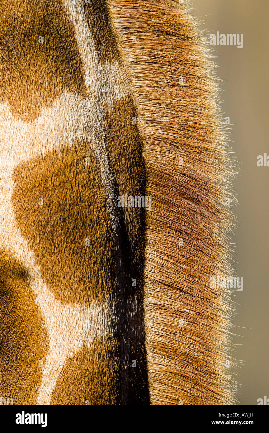 The reticulated mosaic fur pattern on the skin of a Giraffe neck and mane hair. Stock Photo