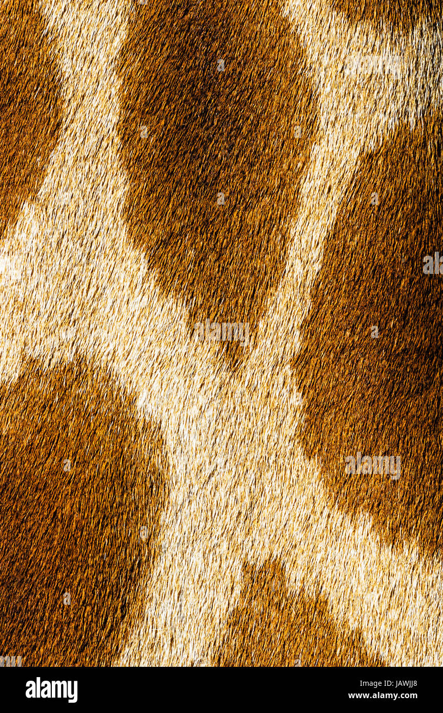 The reticulated mosaic fur pattern on the skin of a Giraffe neck. - Stock Image
