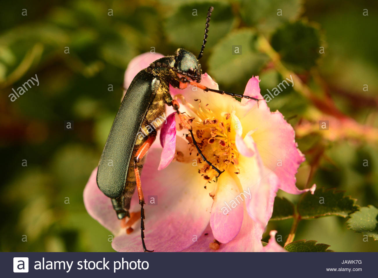 A longhorn beetle eating petals of a rose flower in Kouchibouguac National Park. - Stock Image