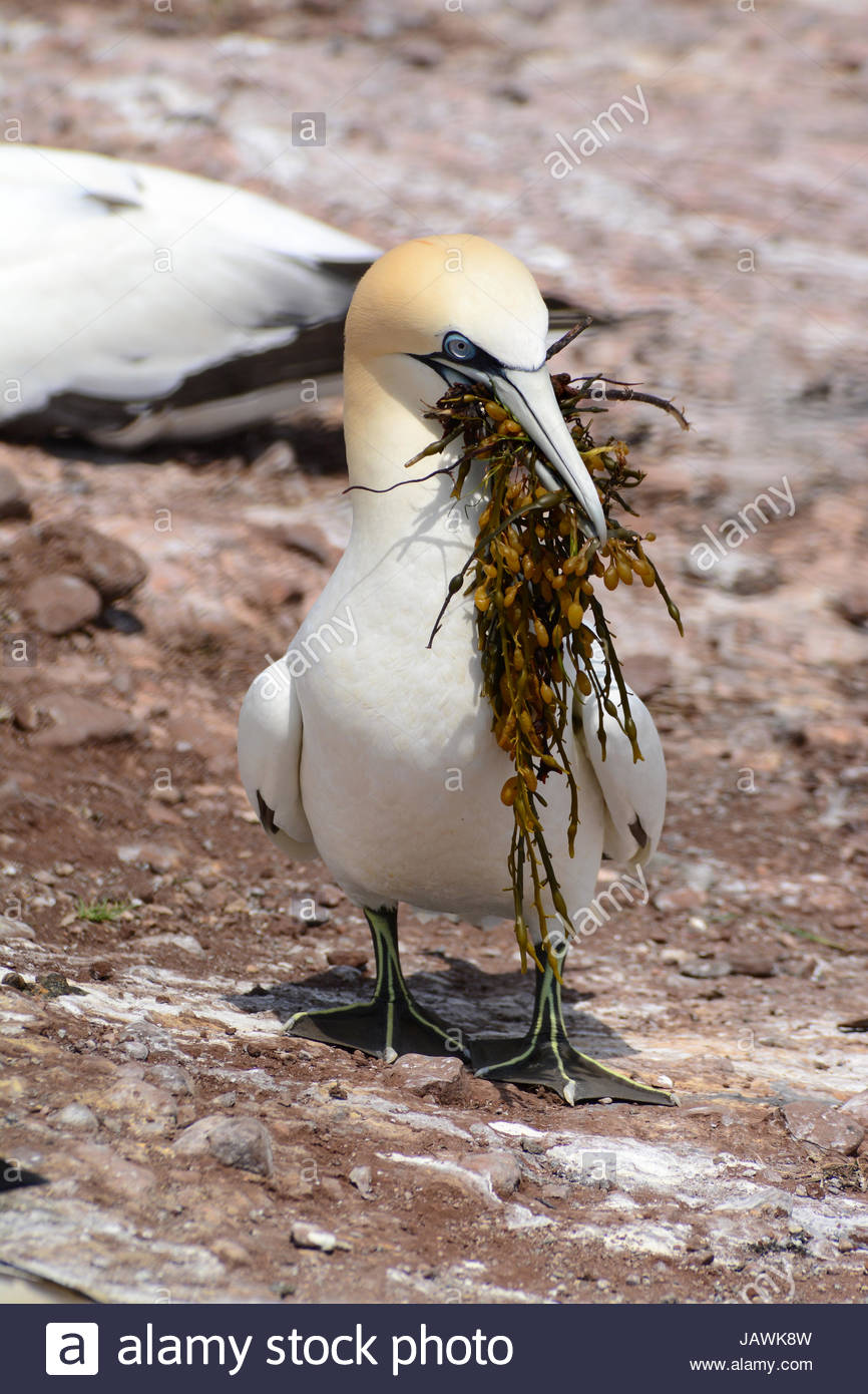 A northern gannet returning to its nest with nesting material in its beak. - Stock Image
