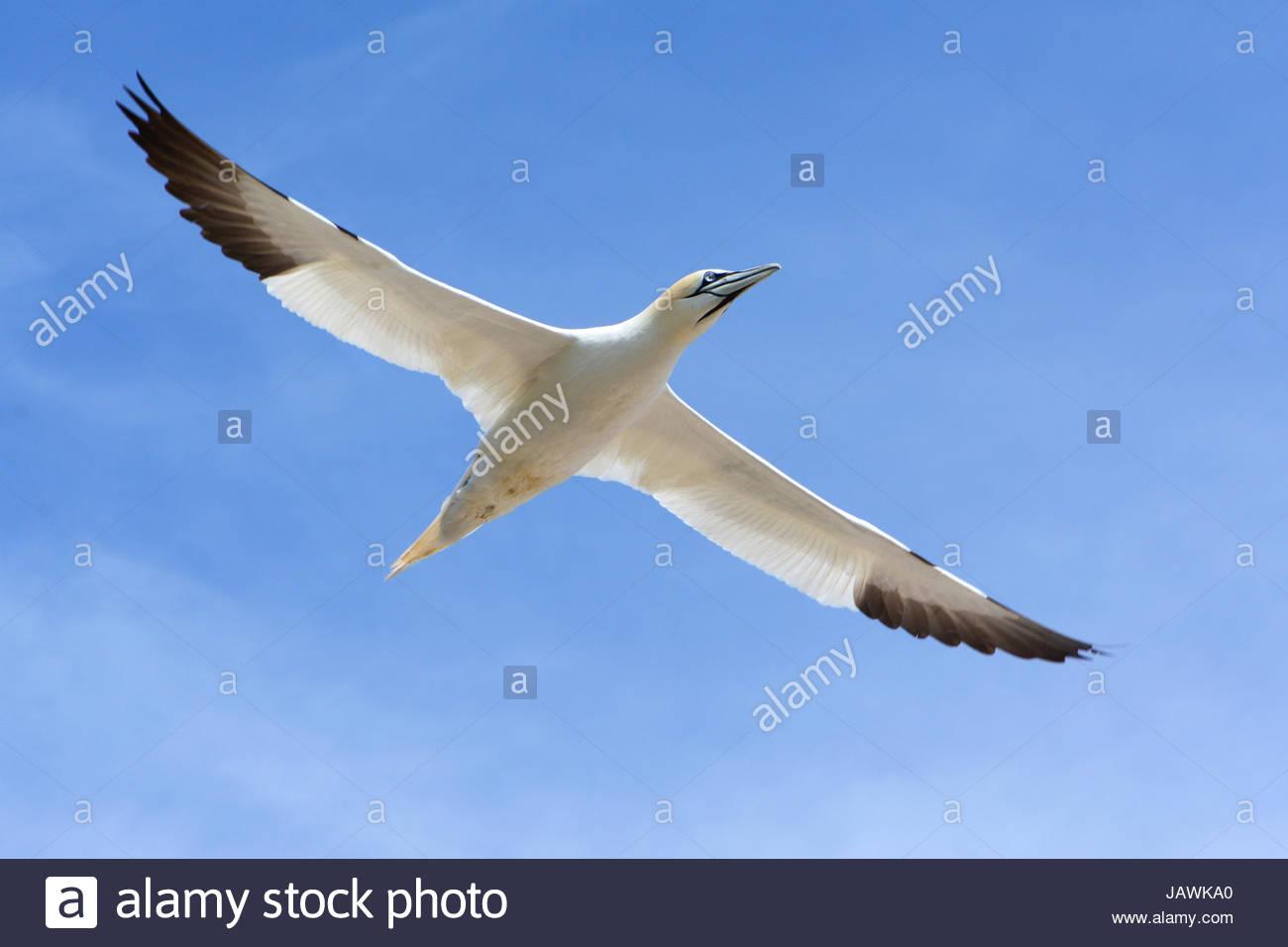 A northern gannet, Morus bassanus, in flight. - Stock Image