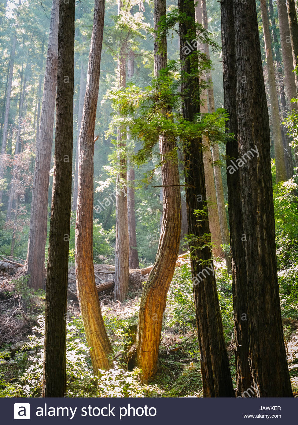 A redwood grove in Henry Cowell Redwoods State Park. - Stock Image