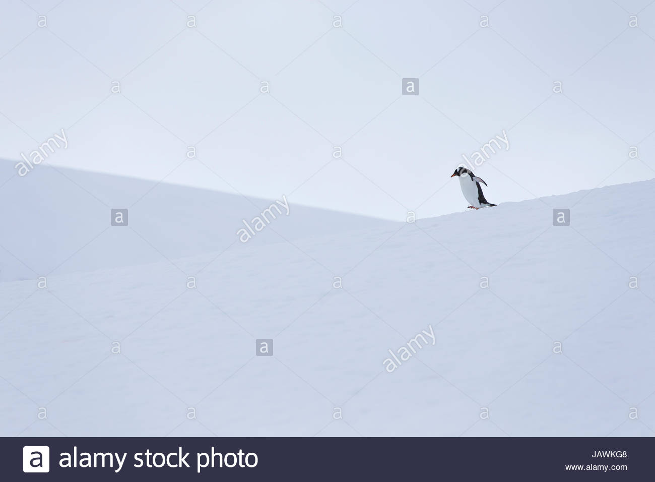 Gentoo penguin during snow and whiteout conditions in Antarctica. - Stock Image