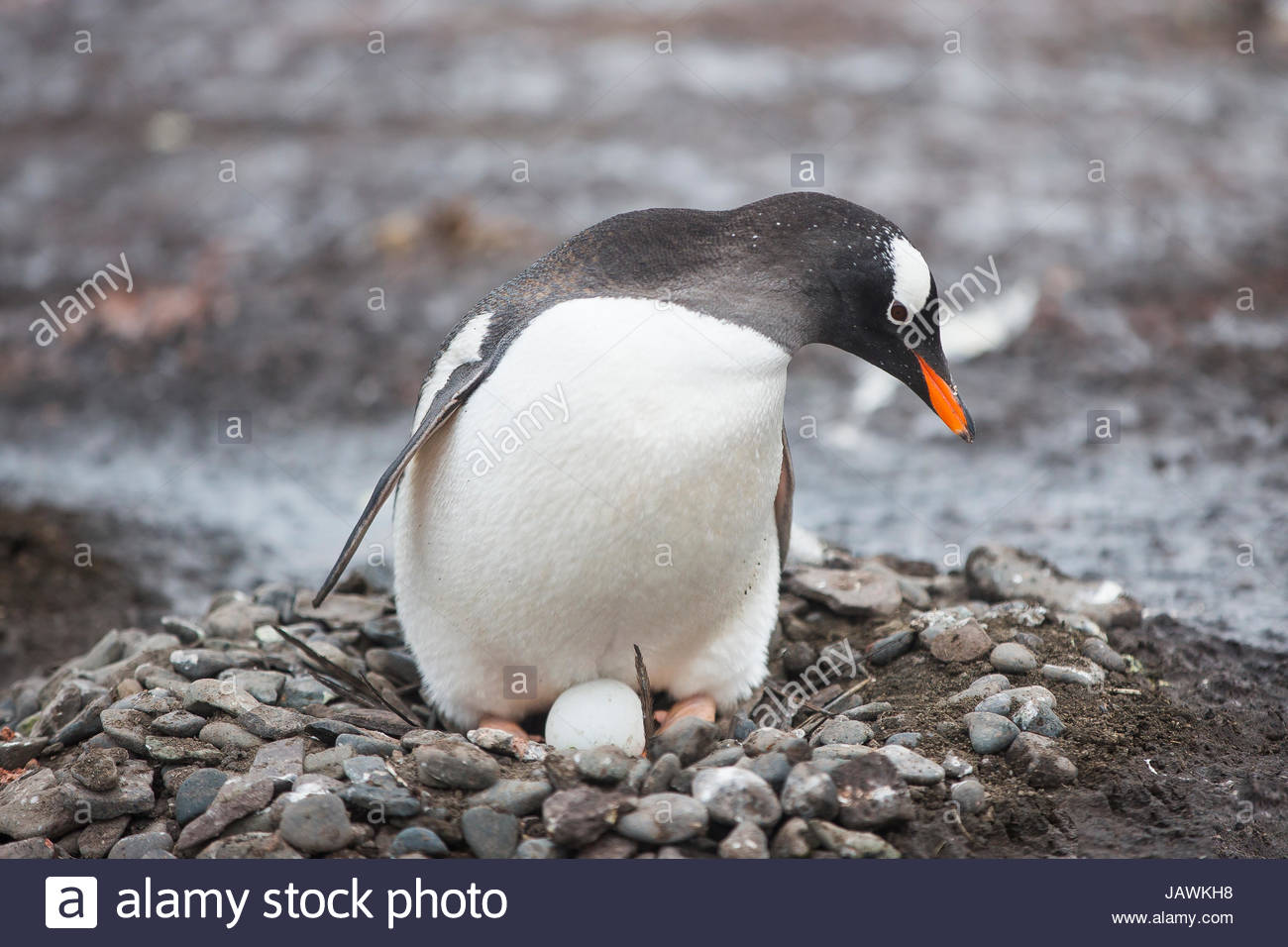 Gentoo penguin nesting and protecting its egg in Antarctica. - Stock Image