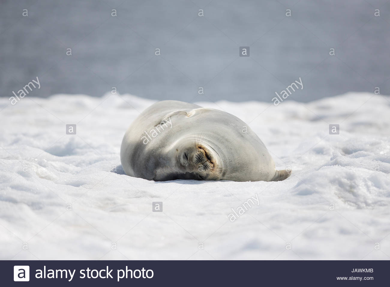 A Weddell seal sleeping in the snow in Antarctica. - Stock Image