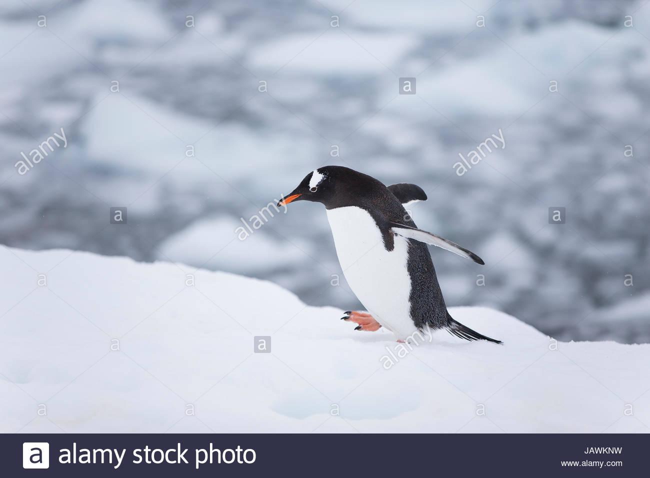 Gentoo penguin walking on snow in Antarctica. - Stock Image