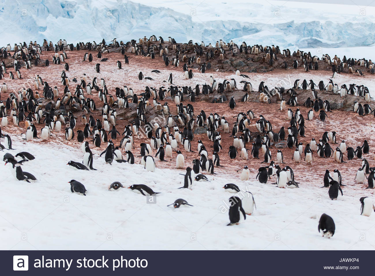 Colony of penguins on Couverville Island. - Stock Image
