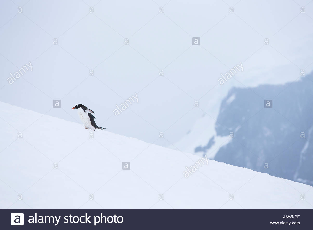 Gentoo penguin struggling to go up to the top of the mountain in Antarctica. - Stock Image