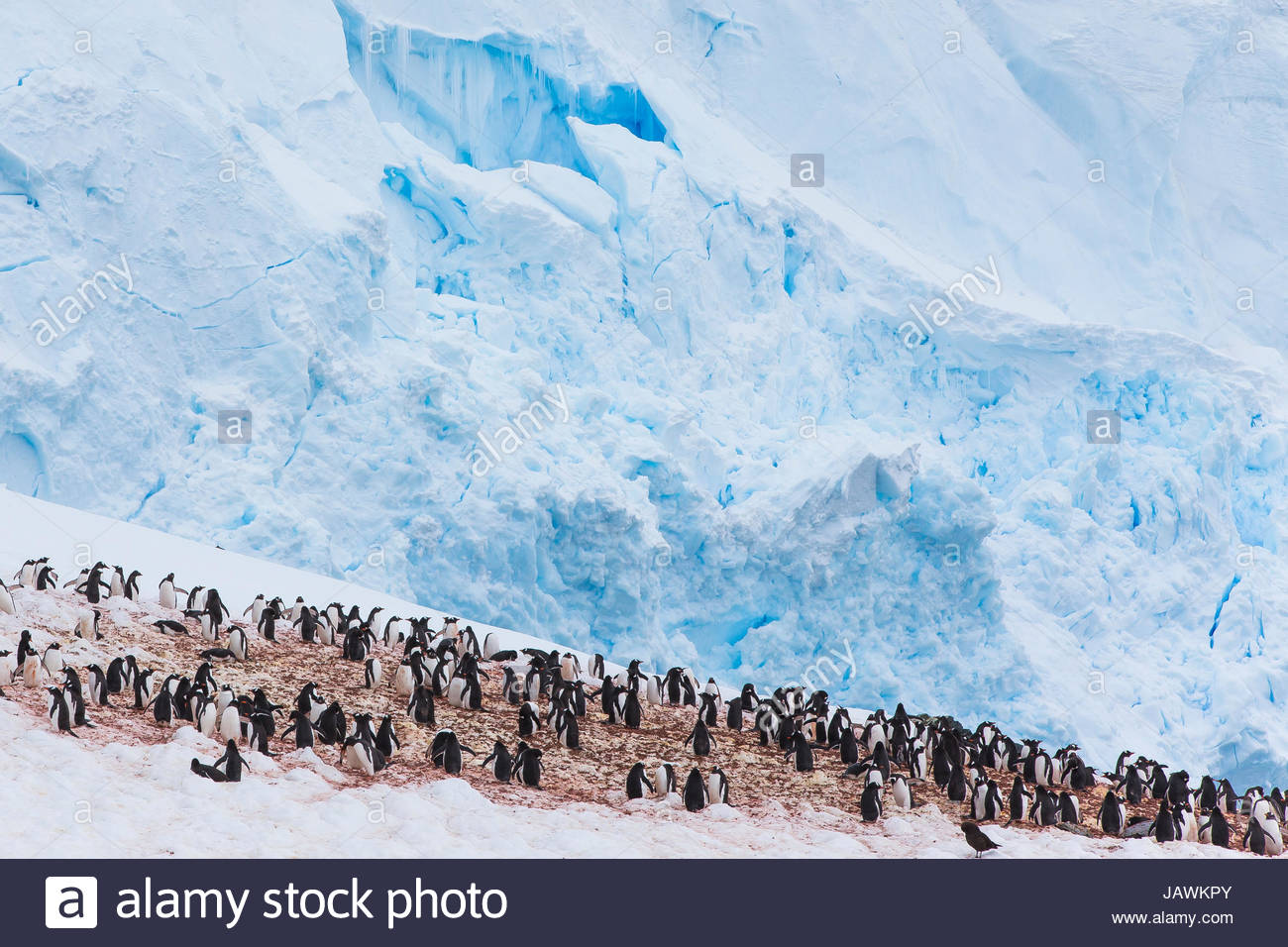 Colony of penguins in Antarctica. - Stock Image