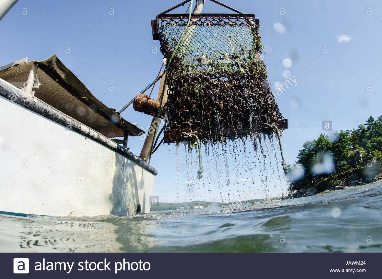 A chain link basket is brought up from the river bed full of oysters and dripping with muddy water. Stock Photo