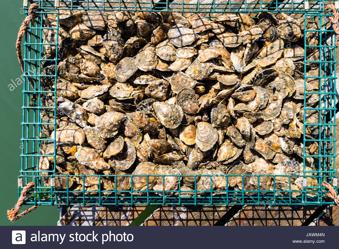 A bushel of oyesters in a green wire basket fresh from the river bed. Stock Photo