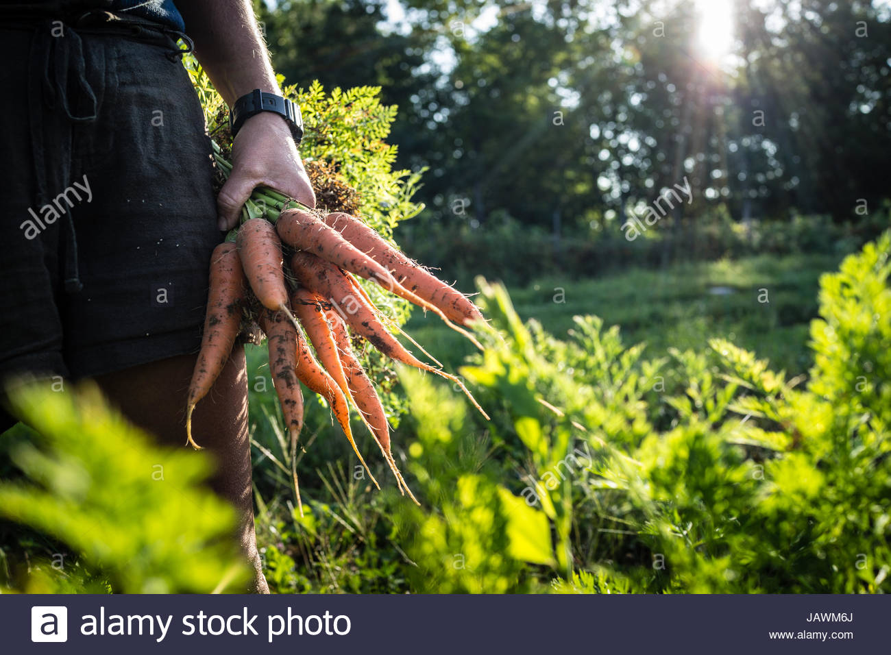 A farmer holds a handful of carrots she has just pulled from her crop. - Stock Image