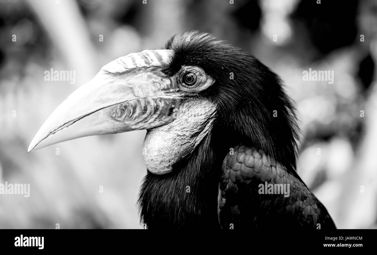 Hornbill, tropical Old World bird in forest - Stock Image