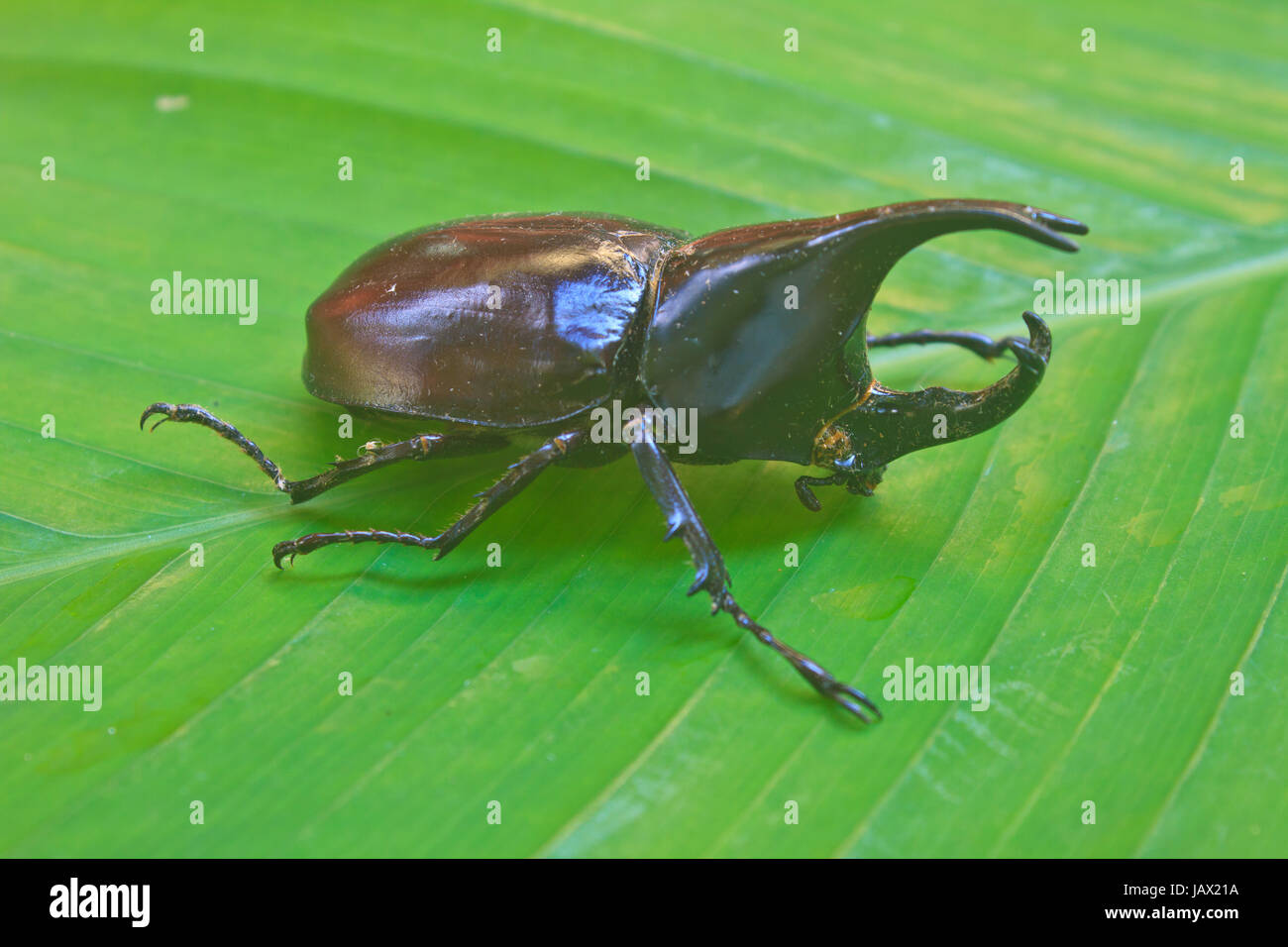 insect from Thailand,  Beetle wing is also known as hard or that Xylotrupes gideon - Stock Image