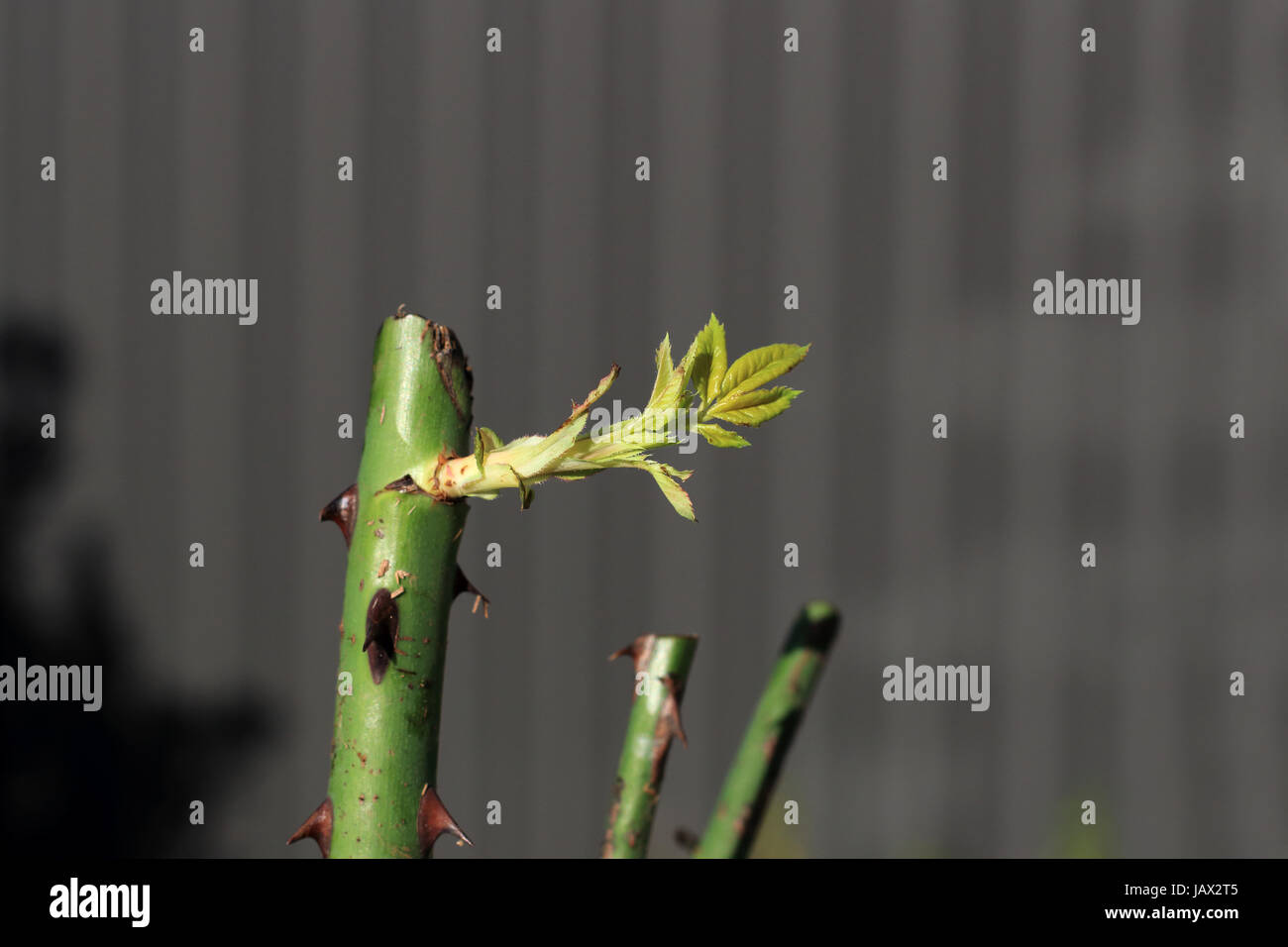 New shoots growing from rose cuttings - Stock Image