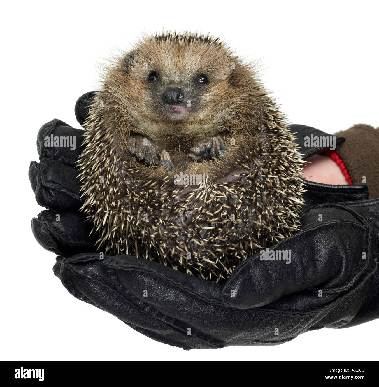 holding a rolled-up hedgehog with black leather gloves. Studio shot in white back - Stock Image