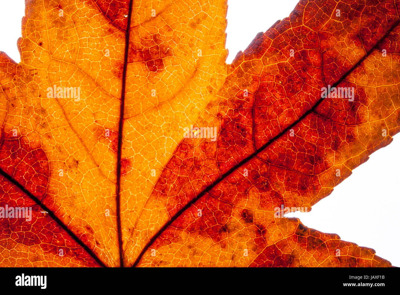 detail of a yellow autumn leaf in backlight Stock Photo