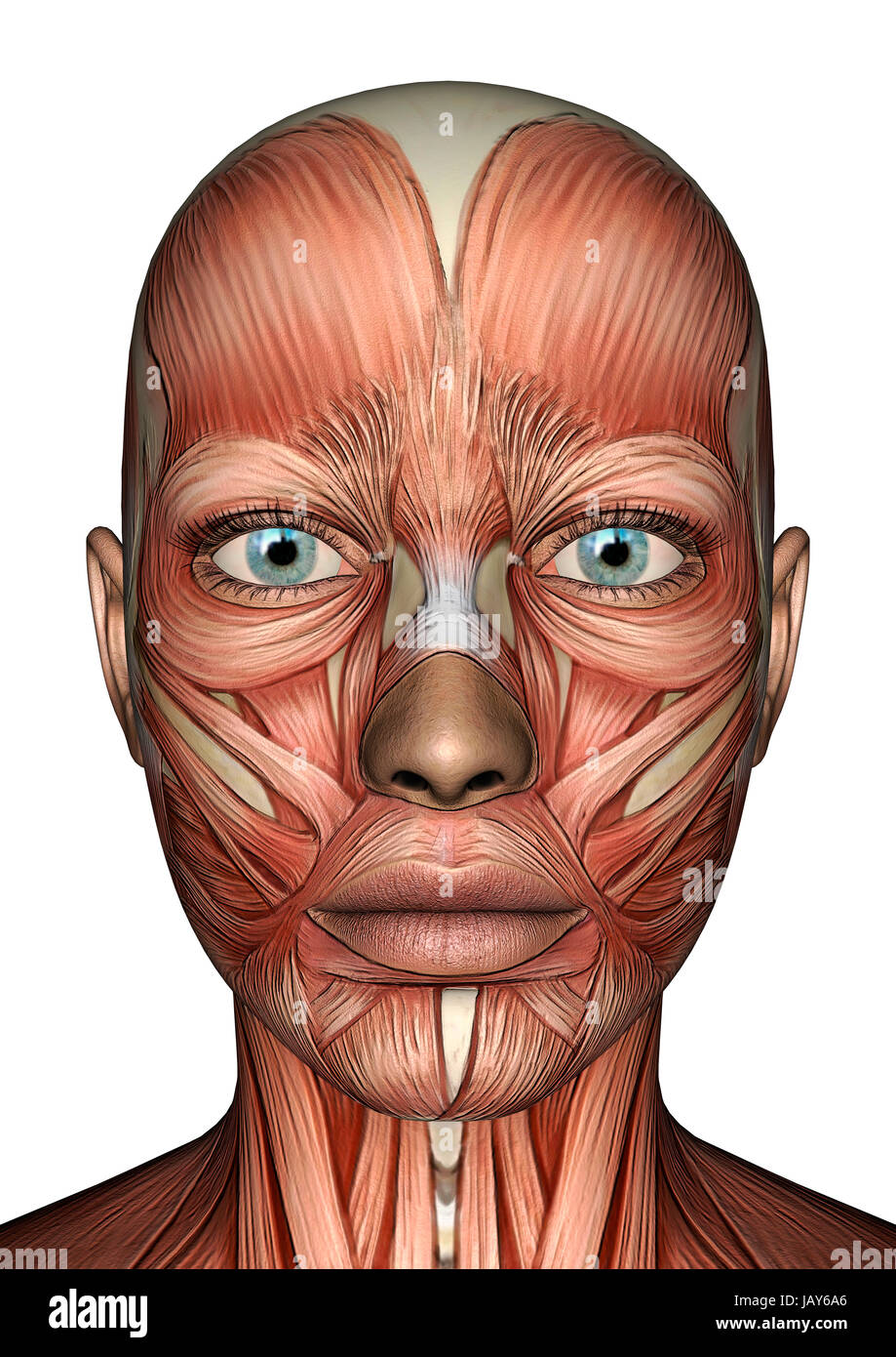 Muscle Anatomy Face Stock Photos Muscle Anatomy Face Stock Images
