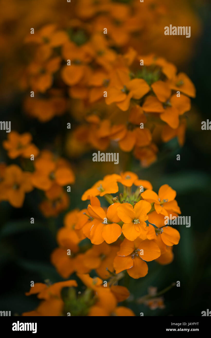 Beautiful vibrant apricot twist erysimum brassicaceae Spring wallflower - Stock Image