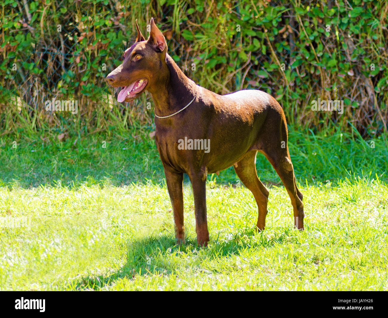 A young, beautiful, brown Doberman Pinscher standing on the lawn while sticking its tongue out and looking happy - Stock Image