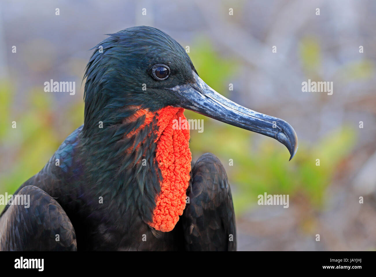 Male Adult Great Frigatebird showing its red gular in the Galapagos Islands - Stock Image