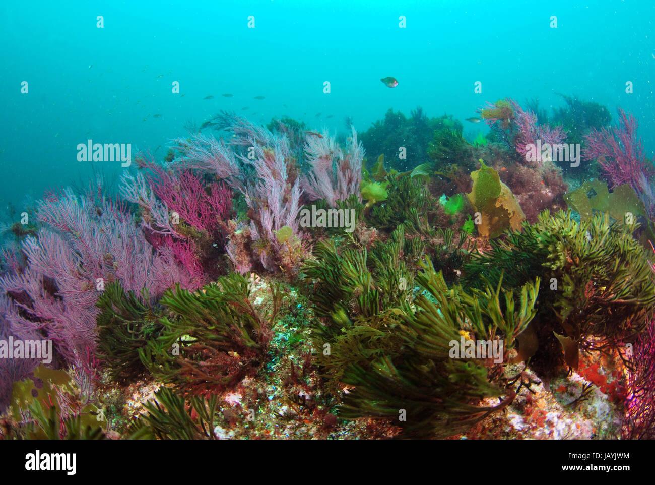 Atlantic Ocean underwater ecosystem with different algae and soft corals - Stock Image