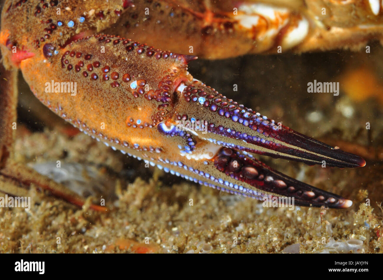 Claw of a velvet crab showing beautiful colors - Stock Image