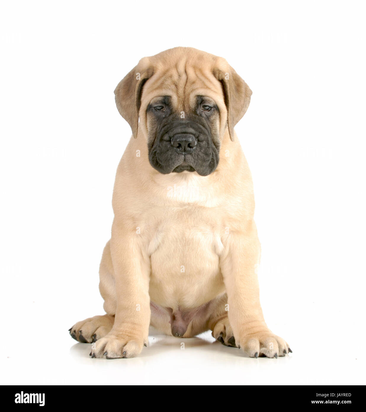bullmastiff puppy sitting looking at viewer isolated on white background - 8 weeks old - Stock Image