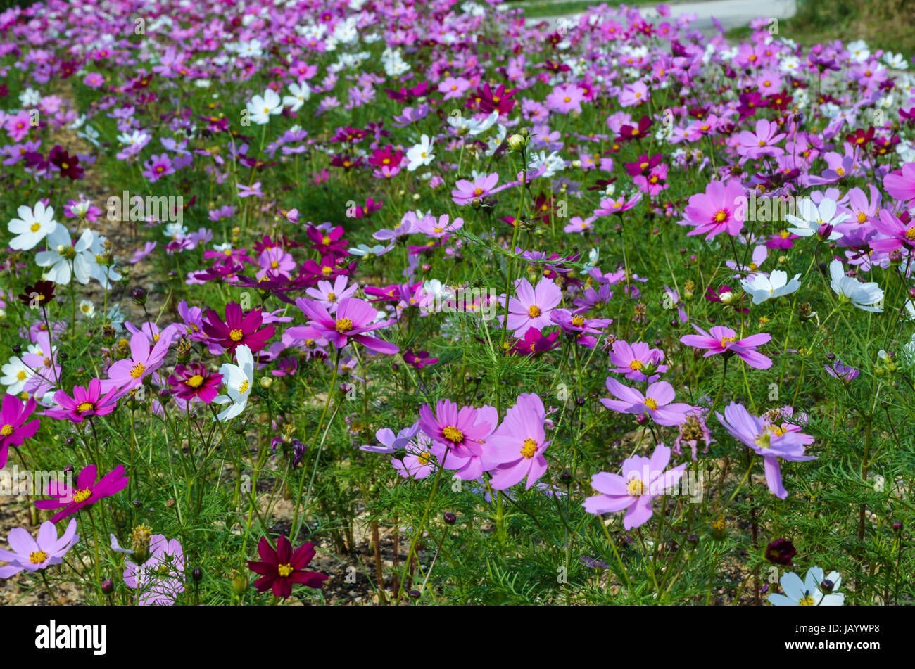 Coloured flowers at the tropical  island Taketomi in Japan Stock Photo