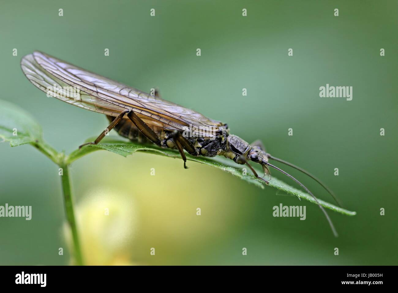 steinfliege plecoptera - Stock Image