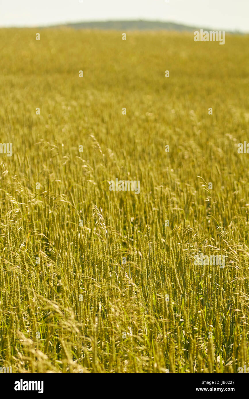 Wheat field in Summer, Lancaster County, Pennsylvania, USA - Stock Image