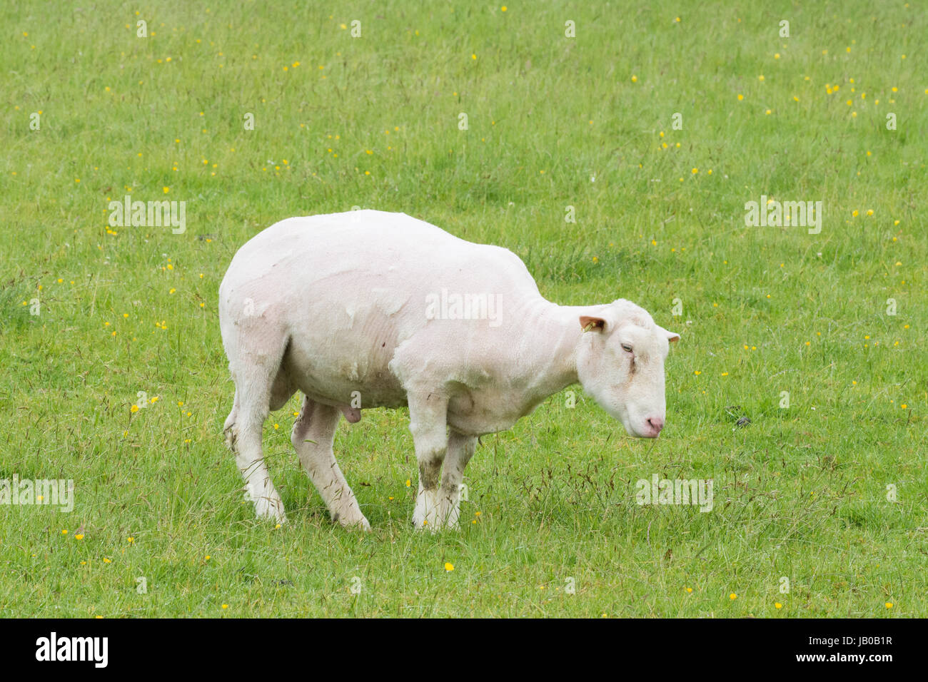 Stirlingshire, Scotland, UK - 8 June 201: UK weather - not a day to be without a coat! A cold, wet and miserable Stock Photo