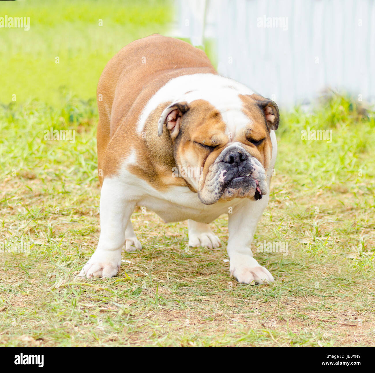 A small, young, beautiful, brown and white English Bulldog standing on the lawn whilehaving its eyes closed and Stock Photo
