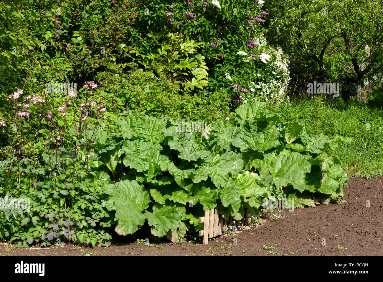 Rhubarb (Rheum rhabarbarum) in front of a flowering hedge, in may (Suzanne's vegetable garden, Le Pas, Mayenne, - Stock Image