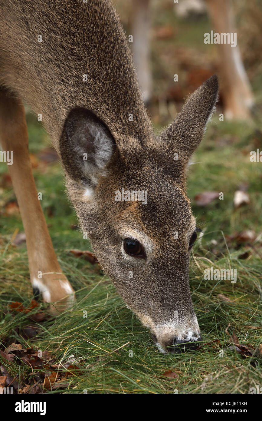 White-tailed deer, doe, (Odocoileus virginianus), New York - Stock Image