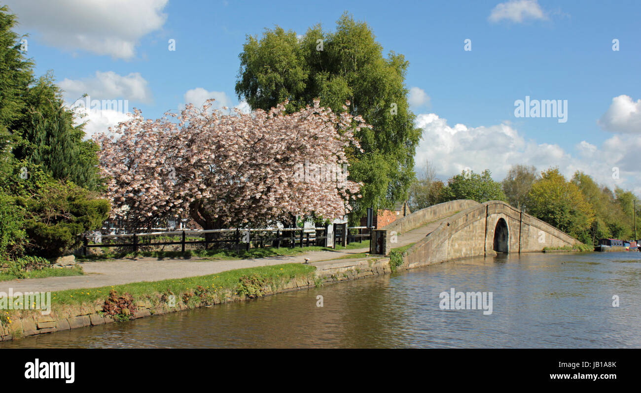 On the Leeds and Liverpool canal near Burscough stands a flowering cherry tree in full bloom looks beautiful in - Stock Image