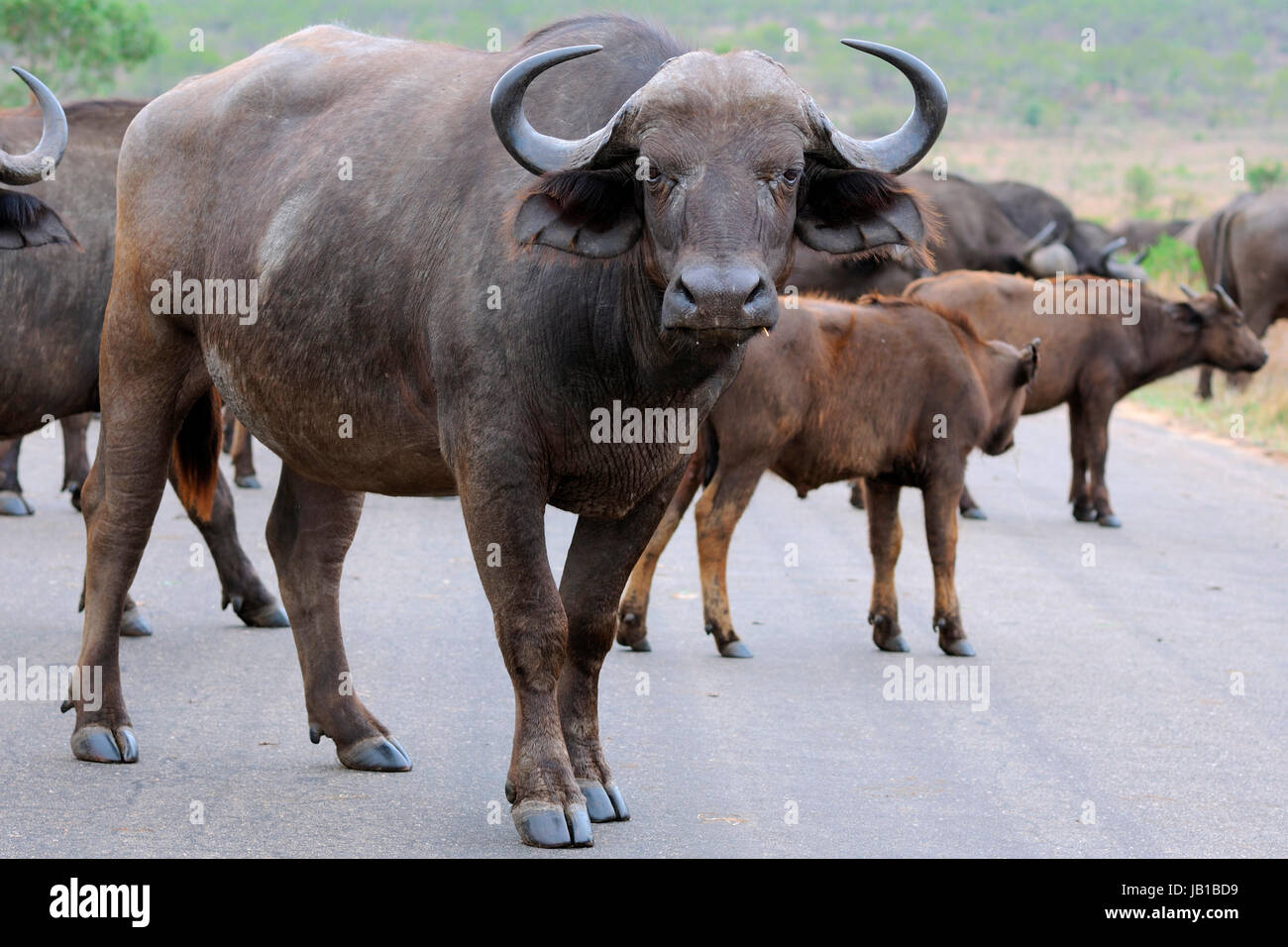 African buffaloes or Cape buffaloes (Syncerus caffer), herd crossing a paved road, Kruger National Park, South Africa - Stock Image