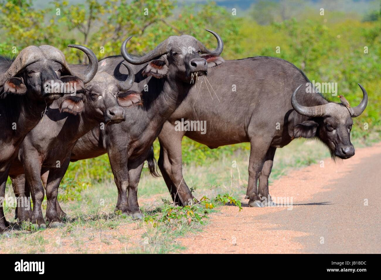 African buffaloes (Syncerus caffer) standing in row by the side of the paved road with one Red-billed oxpecker (Buphagus - Stock Image