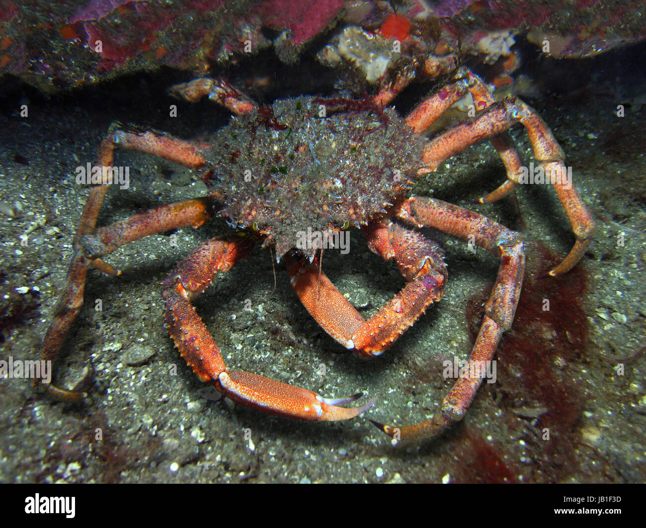 Spiny spider crab, Maja squinado. It is a seafood with great commercial value. Portugal - Stock Image