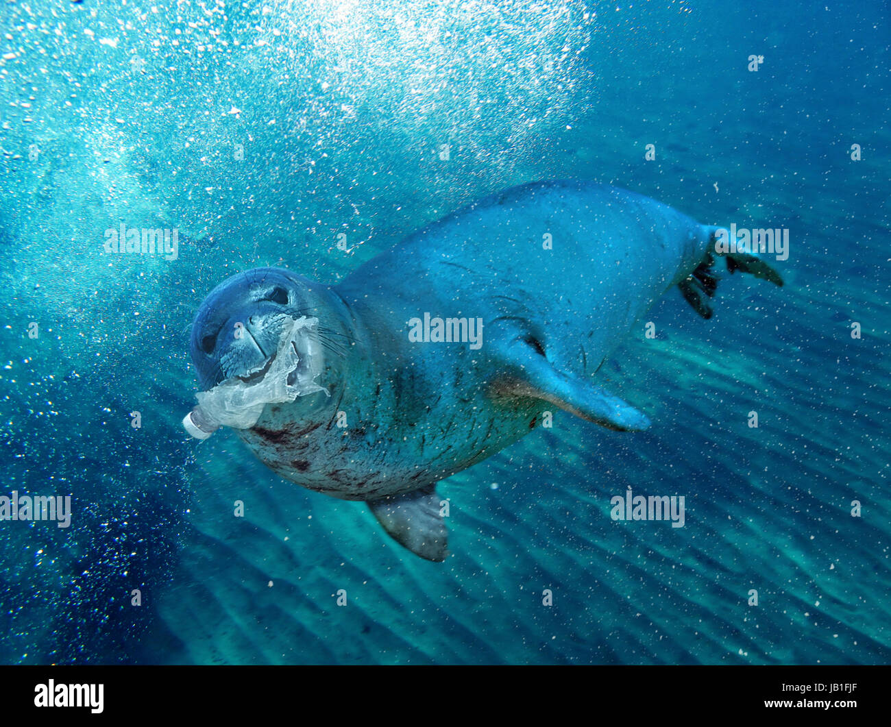 Monk seal playing with a plastic bottle. Eating plastic. Many marine mammals die with the stomach full of plastic - Stock Image
