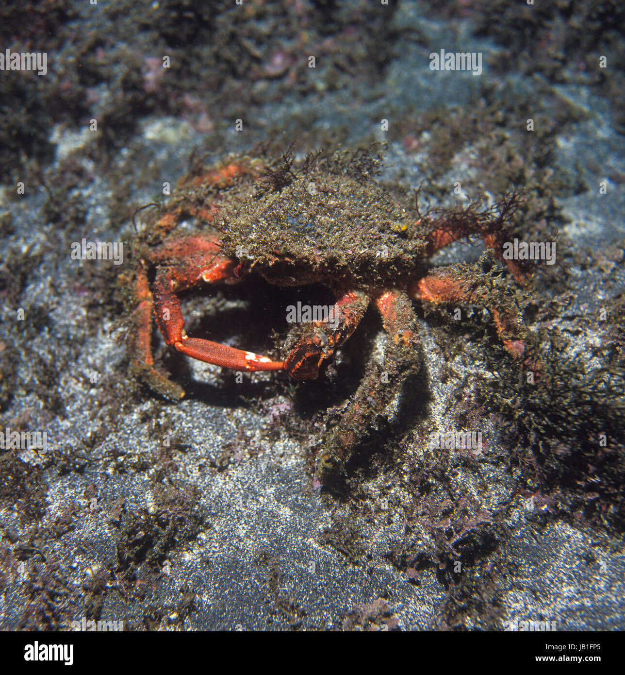 Spiny spider crab, Maja squinado. It is a seafood with great commercial value. Azores, Portugal - Stock Image