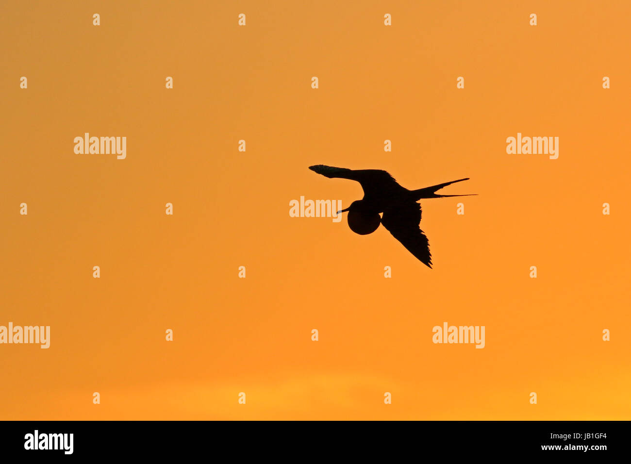 Great Frigatebird in flight with its gular extended at sunset on Genovesa Island in the Galapagos - Stock Image