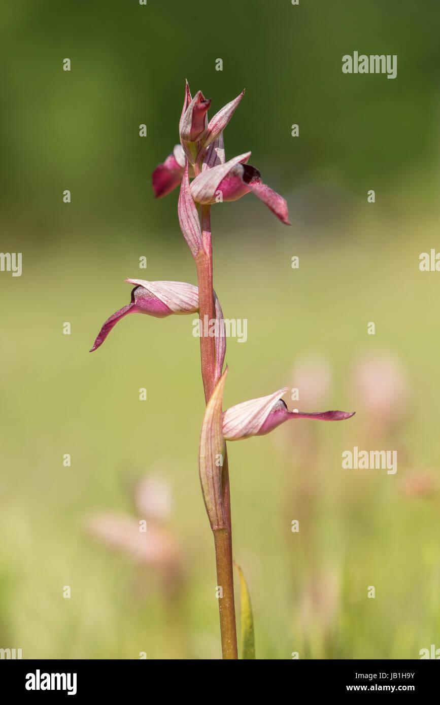 Tongue orchid-Serapias lingua - Stock Image