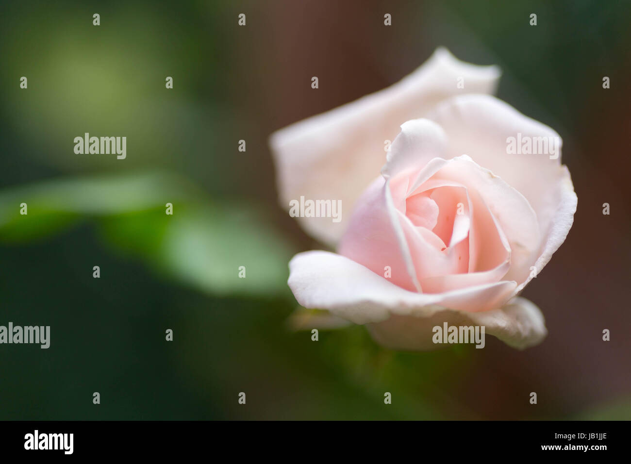 Garden flowers - Stock Image