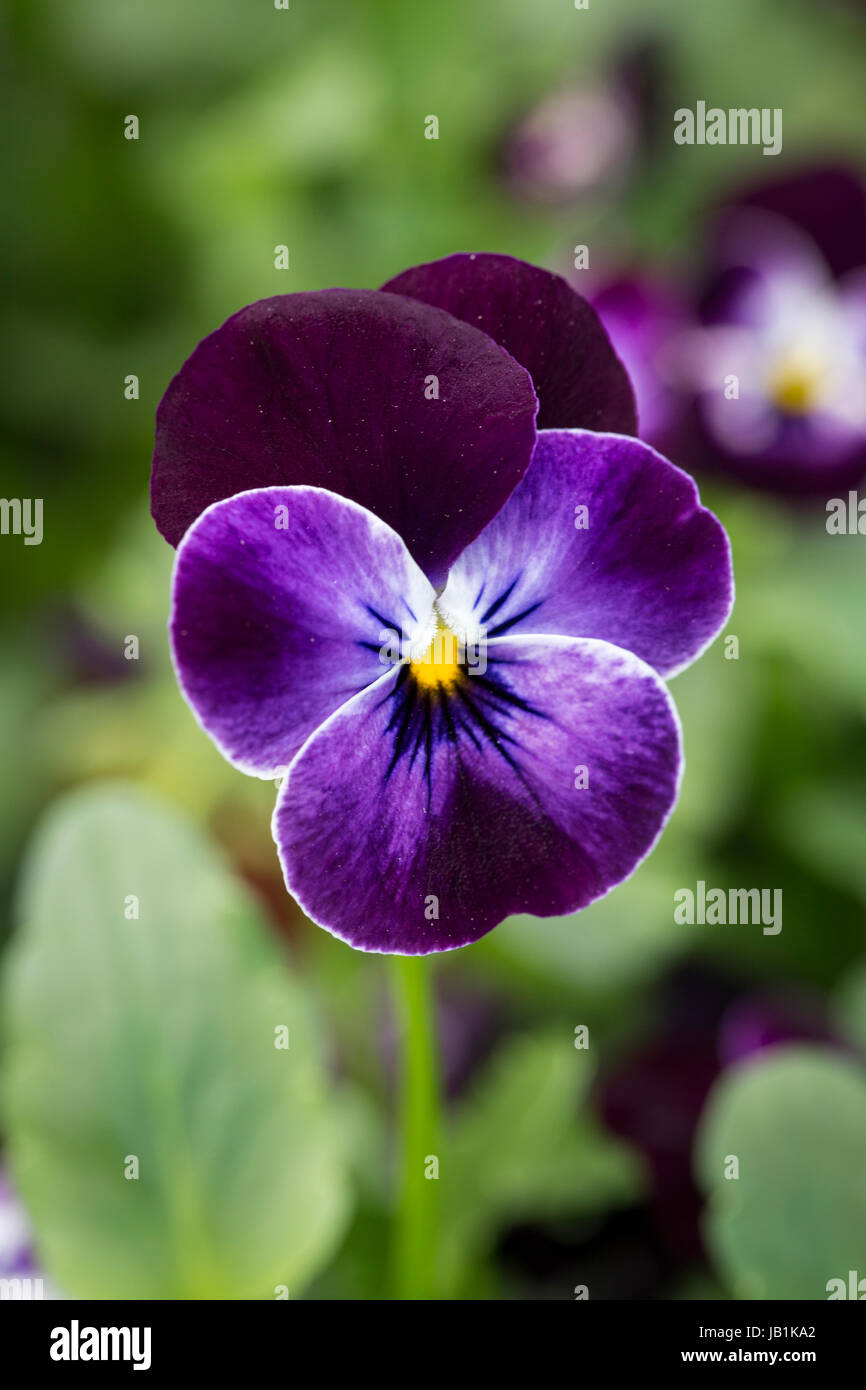 Winter flowering Viola 'Phantom' - Stock Image