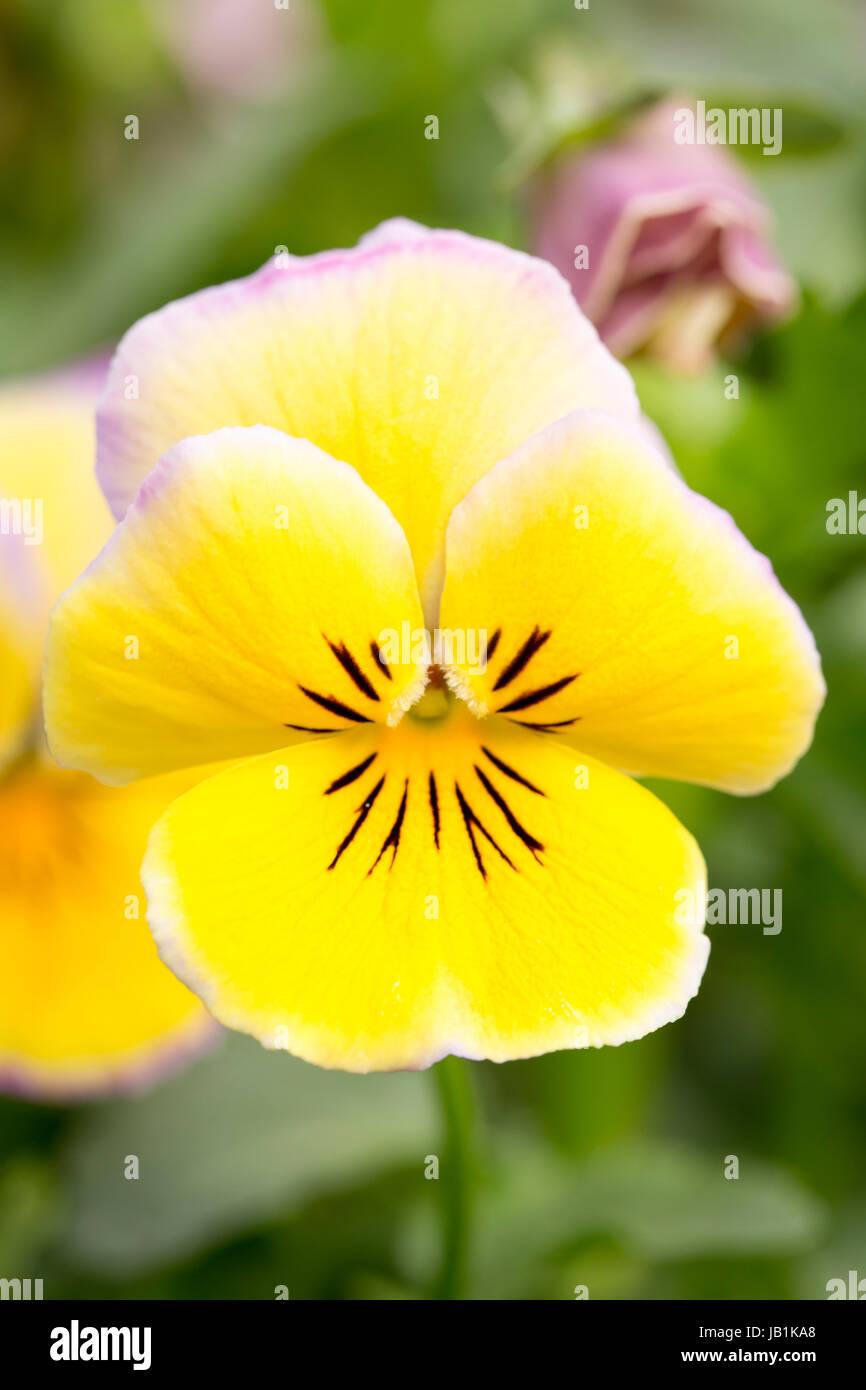 Winter flowering Viola - Stock Image