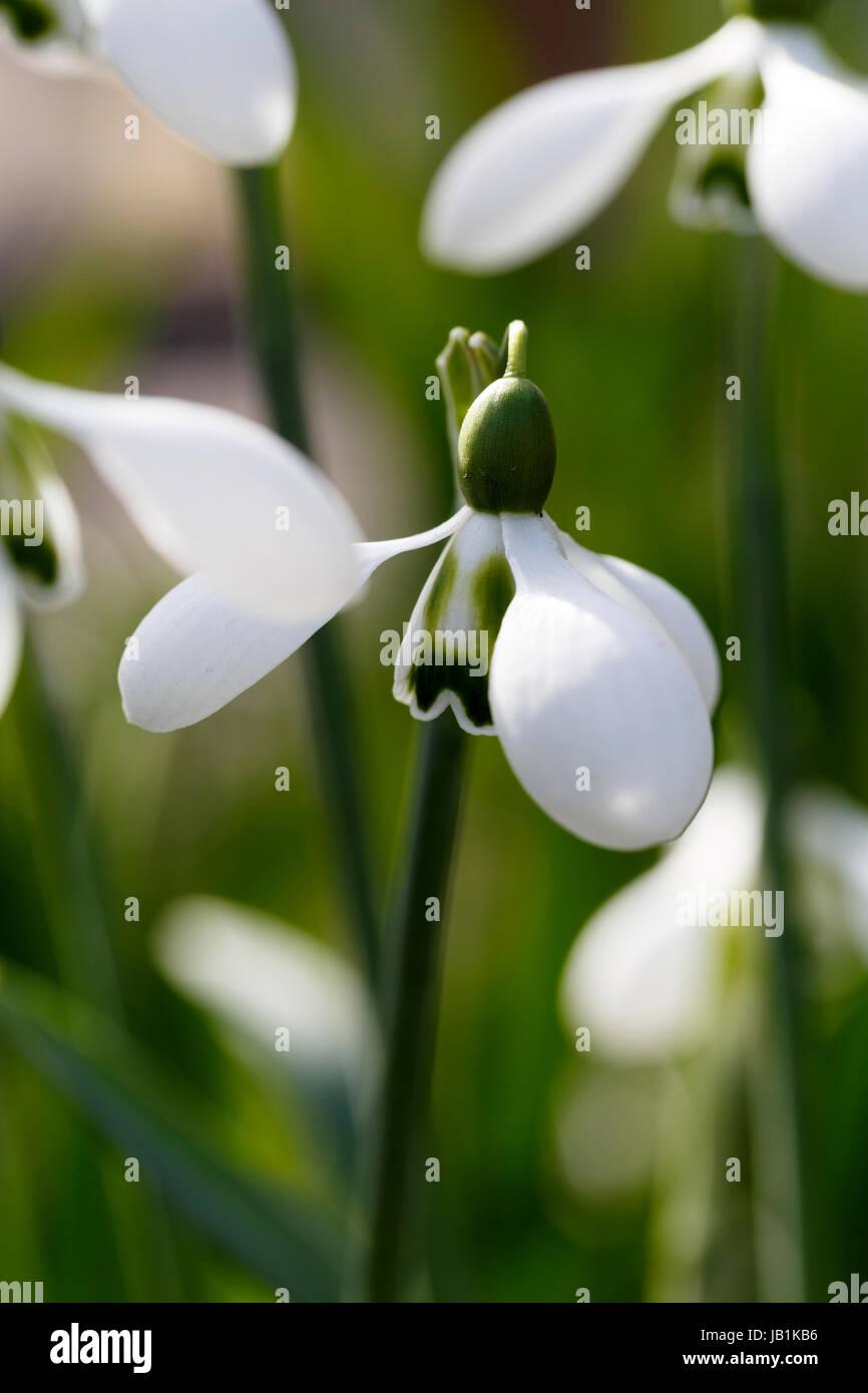 Galanthus 'Big Eyes' - Stock Image